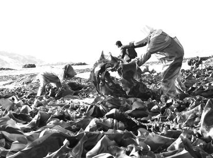 大钦岛乡北村渔民葛长才今年的130亩海带大获丰收