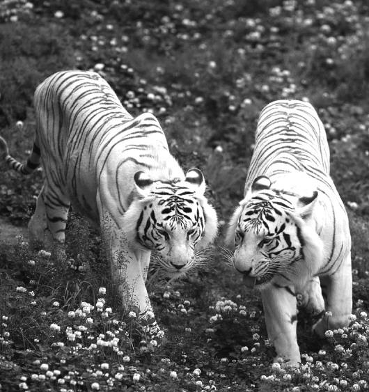 威海西霞口神雕山野生动物自然保护区内的白虎
