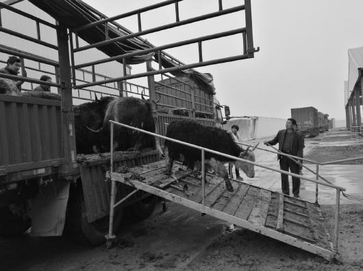 援青扶贫:海北州牦牛藏羊首进山东