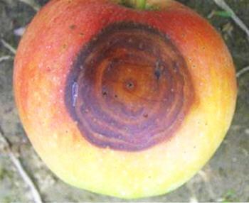 """防治苹果轮纹病必须走出""""传统技术误区"""""""
