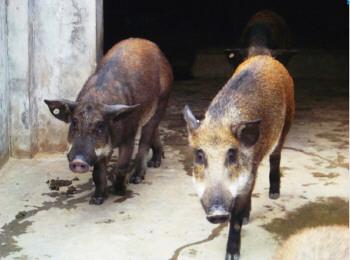野猪属于杂食性动物