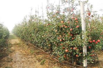给每棵苹果树一个支架