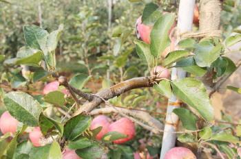 矮苹果树修剪技术图解