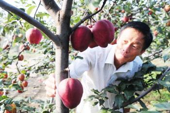 聊城一农民育出红梨新品种 - 平阴玫瑰甲天下 - 我心永恒博客乐园 平阴玫瑰甲天下