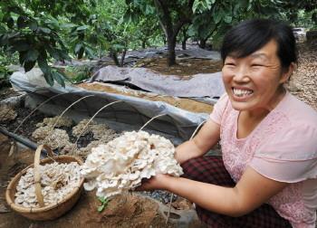 板栗树下种蘑菇