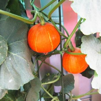 盆栽南瓜的种植方法