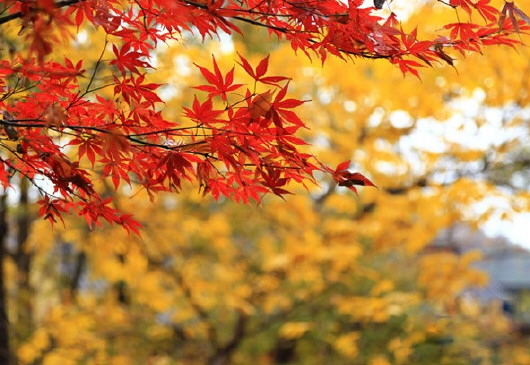 """近些年来,天平山风景管理处又栽种了2000多棵""""接班枫"""",与古枫林形成"""