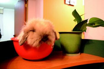 【 查看pdf版】   浅棕色的垂耳兔兔萌
