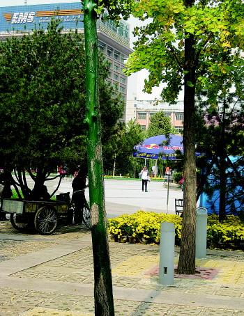 泉城广场南侧的一棵银杏树树干被涂上绿漆