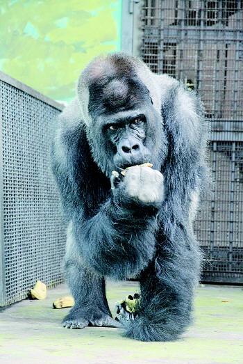 """一说到济南动物园,知名度最高的就是大猩猩""""威利"""""""